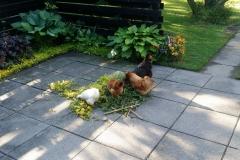 høns i haven
